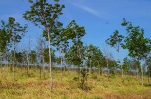 Kautschukbäume die von TIMBERFARM gepflanzt wurden